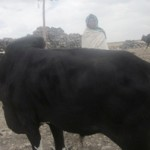 Shewaye of Ethiopia received $175.00 to cattle to raise and sell.