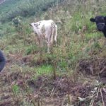 $100 from iZōsh completed the loan of $800 to help Maria buy a cow.