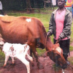Sarah in Kenya received a loan of $150 to buy hybrid seeds and fertilizers for her business selling milk, eggs, and vegetables from her farm.