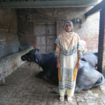 Shabana in Pakistan received a loan of $150 to buy a new buffalo and quality animal fodder for her business raising buffalo and selling their milk.