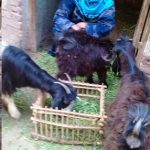 Our $825 loan to Wafaa in Egypt will help her buy goats and lambs to fatten and sell in the local market.